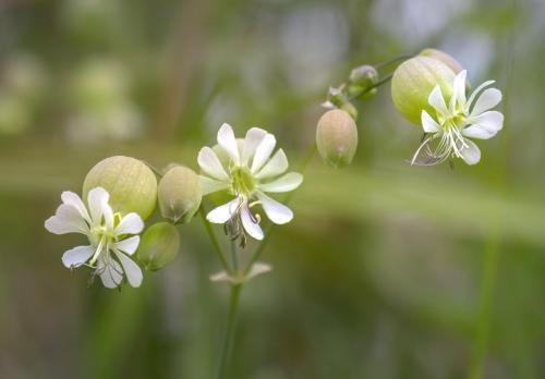 Costa Daniela - Silene vulgaris - Civitella Alfedena