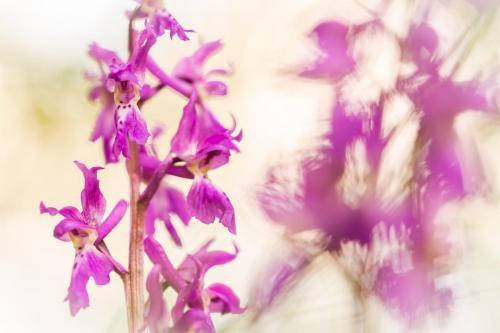 De Siena Luca - Orchis mascula - Camosciara