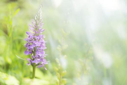 Di Sario Nicola - Dactylorhiza maculata - Val Fondillo