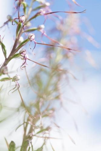 Di Sario Nicola - Himantoglossum adriaticum - Gioia dei Marsi