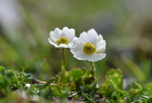 Iannarelli Angelina - Ranunculus magellensis