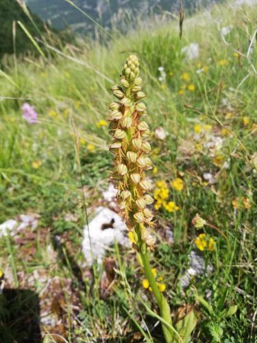 Nicolino Crognale - Neotinea maculata - Monte Amaro di Opi
