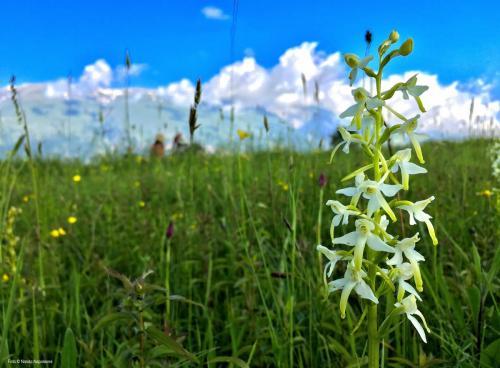 Nando Napoleone-Platanthera bifolia-Palena