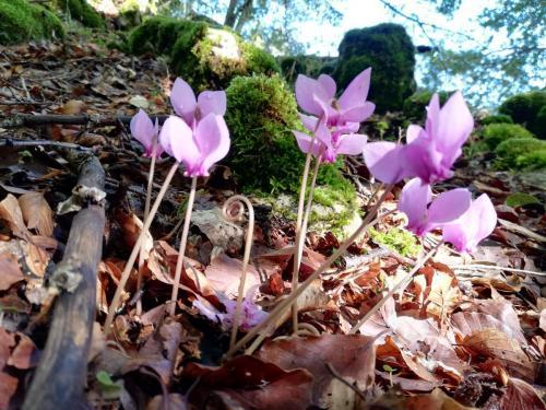 Paolucci Francesca - Cyclamen hederifolium - Gioia dei Marsi