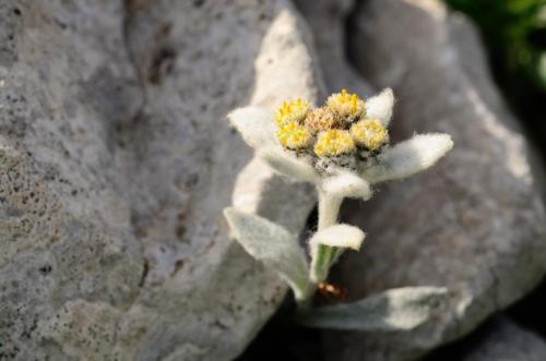 Simone Giordano Stella alpina appenninica (Monte Amaro - Maiella)