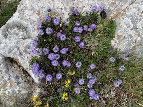 Visco Donatella - Globularia meridionalis - Monte Tricella